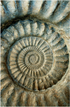spiral shell fossil